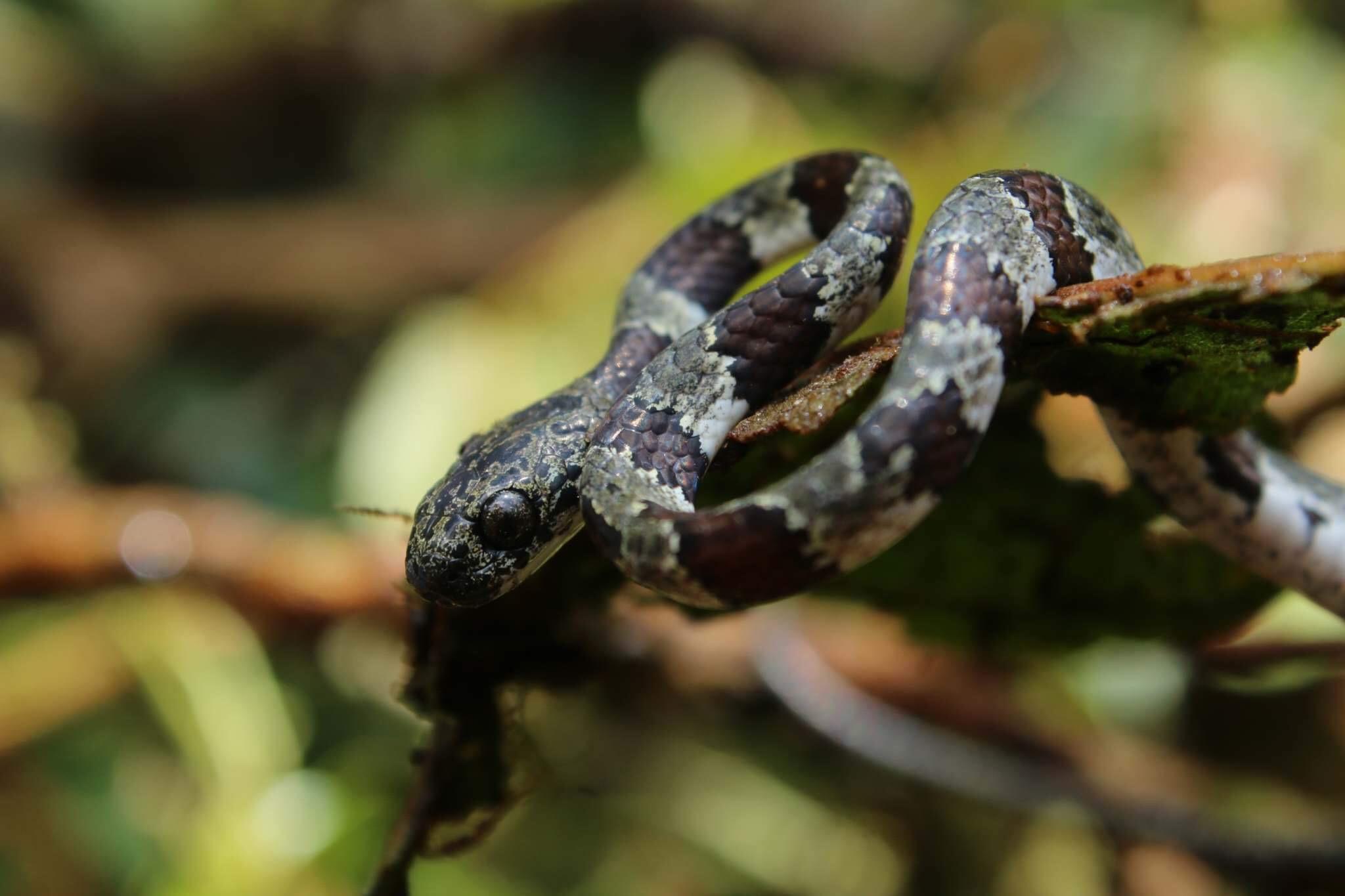 Snake-Monteverde