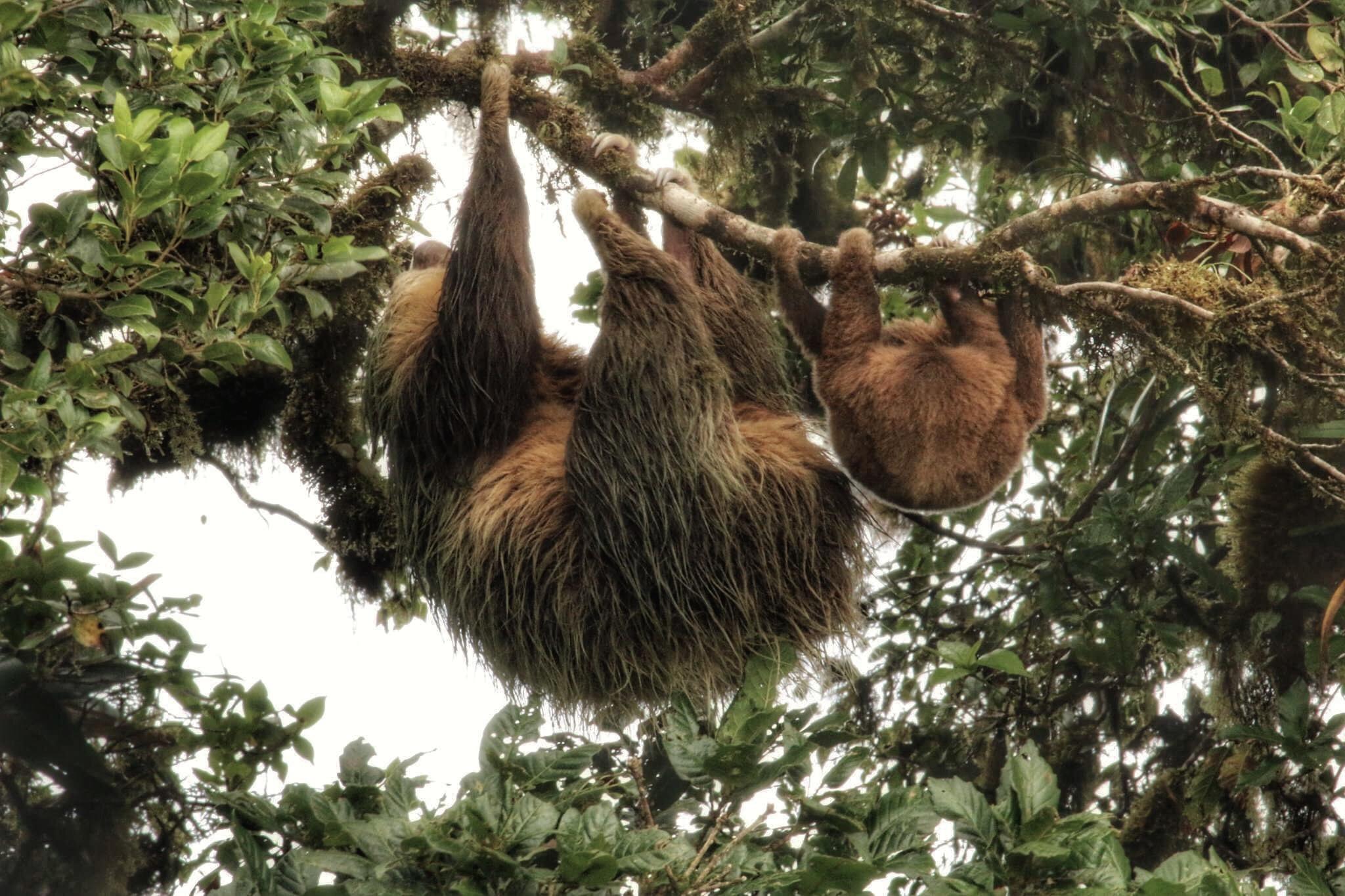 Sloths-Monteverde